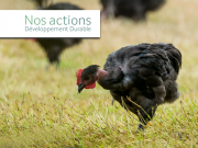 Le Poulet Fermier d'Argoat : un poulet heureux !