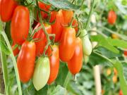 Le retour de la tomate locale de plein champ !