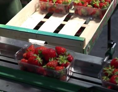 Les fraises - Transgourmet, grossiste fruits et légumes